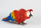 Ready to fly red parrot