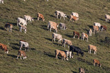Cows in alpine meadow - 222916443