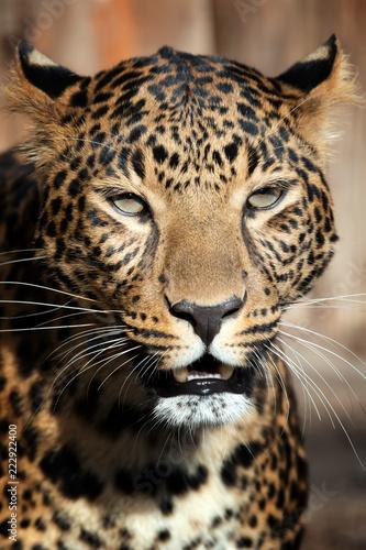 Fototapeta Close up leopard portrait
