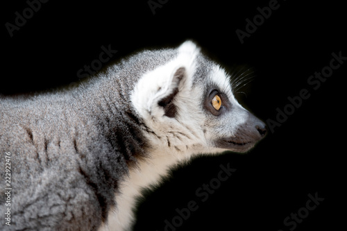 Leinwandbild Motiv Lemur portrait on black background