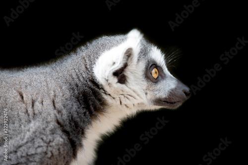 Leinwanddruck Bild Lemur portrait on black background
