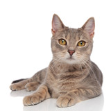 lovely grey metis cat with yellow eyes resting