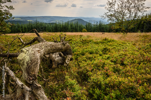 Korzeń drzewa wrzosowiska