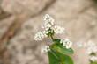 Fleurs de blé noir - 222942429