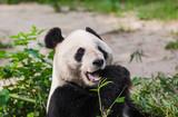 Giant panda - 222945023