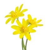 Three  early spring flowers isolated on white background. Kingcup - 222950280