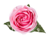 Light pink rose with leaves isolated on white background. - 222950293