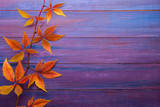 Branch of colorful autumn leaves  (Virginia creeper) on wooden board. - 222950436