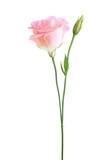 Light pink flower of  Eustoma   isolated on  white background. - 222950470
