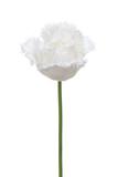 White tulip isolated on white background. Fringed Tulip - 222950640