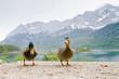 Leinwanddruck Bild - Entenpaar am Eibsee
