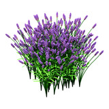 3D Rendering Lavender Flowers on White - 222974674