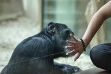 hand of a man with his fingers spread out covers the face of a large monkey sitting behind a glass, symbolizing the protection of animals.