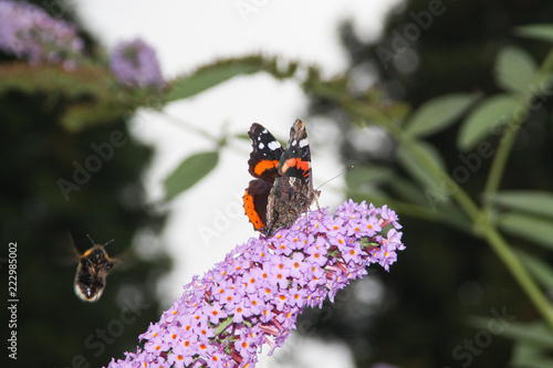 Butterfly Admiral on a beautiful flower. - 222985002