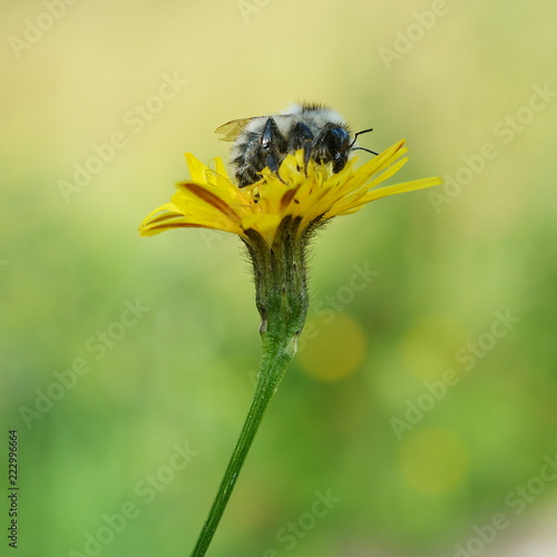 Sticker A gray bumblebee sits on a yellow flower on a blurred background of a sunny green meadow