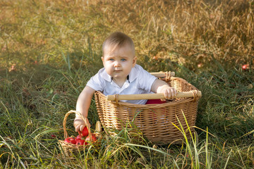 A little boy in an apple orchard with a crop of apples