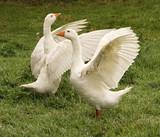 Gänse Gans Flügel Goose  - 222997683