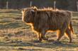 Vache écossaise Highland Cattle