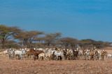 A herd of desert goats belonging to a traditional nomadic clan, standing in a sandy clearing against the backdrop of acacias under a sunny blue sky. Located near Marsabit, in northern Kenya - 223015270
