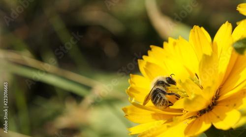 lato pszczoła natura - 223016663