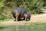 Famille Hippopotames - 223020642