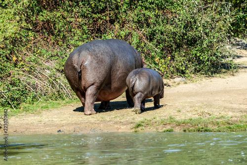 Wall mural Famille Hippopotames