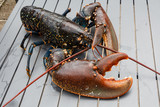 Homard breton vivant après la pêche - 223033890