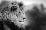 Close up of a lion looking off to the side - 223049854