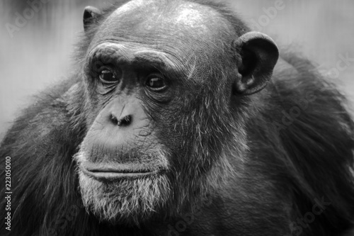 Close up of a Chimpanzee looking sad or thoughtful. © Allan