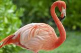 Flamingo Flamenco en el agua sobre fondo verde
