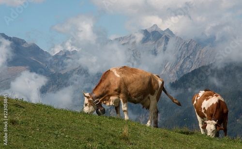 Mucche al pascolo in alta montagna - Valtellina, Italy © Franco Bissoni