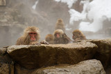 Snow Monkey in Hotspring - 223059622