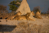 Lions basking in afternoon sun - 223063418