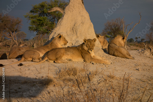 Lions basking in afternoon sun