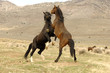 Wild Mustang Stallions Confrontation