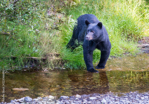 Fridge magnet Black bear in the Canadian wilderness