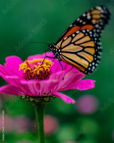 butterfly on flower - 223067680