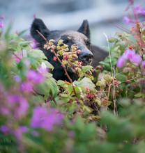 """Постер, картина, фотообои """"Black bear in the Rocky Mountains"""""""