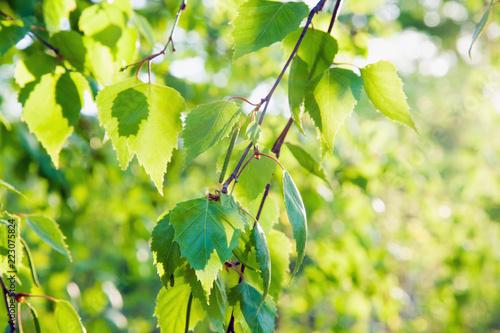 Fresh green birch tree leaves