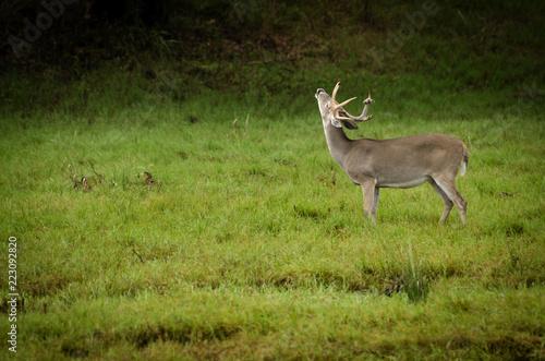 Fototapeta Wet Buck grunting