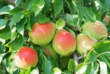 colorful pears on the tree in harvest season - 223100625