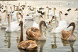 group of white and broun young swans on the lake
