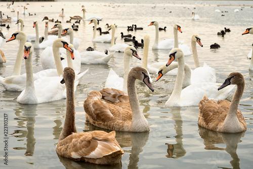 grupa białych i broun młodych łabędzi na jeziorze