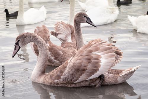 dwa młode łabędzie z piórami broun tańczącymi w jeziorze