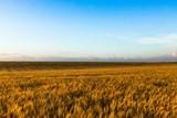 Golden Barley / Wheat Field - 223105678