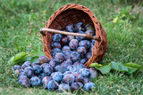 Plum harvest. Plums in a wicker basket on the grass. Harvesting fruit from the garden