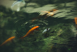small fishes in pond close up - 223121618