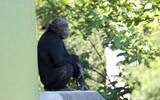サル 猿 さる チンパンジー 腰掛けるチンパンジー