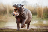 Aggressive hippo male attacking the car. Huge hippo male intimidating the opponent. Wild animal in the nature habitat. African wildlife. This is Africa. Hippopotamus amphibius. - 223126414