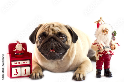 a sad pug lying on a white background with the new year calendar on december 31